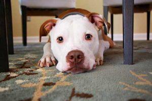 Remove Pet Urine in carpet